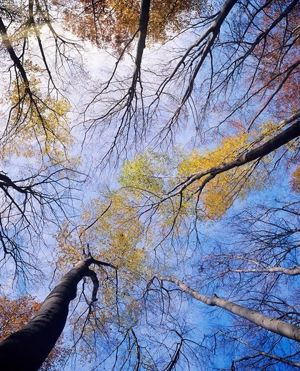 View of the crowns, treetops of European Beeches or Common Beeches Fagus sylvatica : Stock Photo