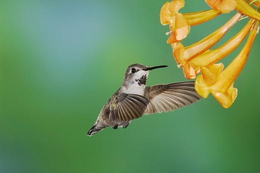 Costa´s Hummingbird Calypte costae, young male in flight feeding on Yellow Trumpet Flower Tecoma stans, Tucson, Arizona, USA : Stock Photo