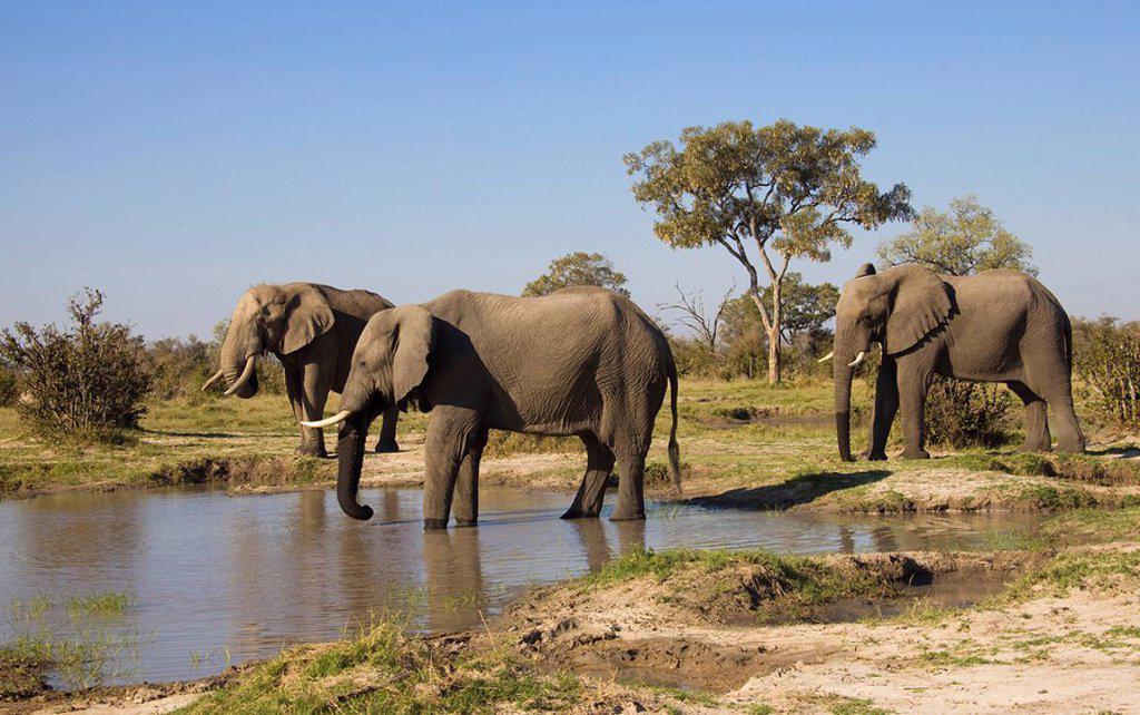 Stock Photo: 1848-1665 African elephants Loxodonta africana at a waterhole, Chobe National Park, Botswana, Africa