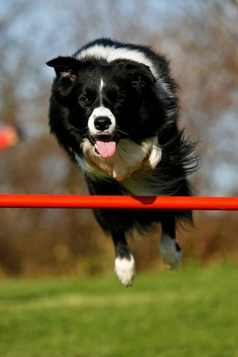 Border Collie jumping over a beam on an agility course : Stock Photo