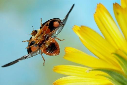 Asian lady beetle Harmonia axyridis : Stock Photo