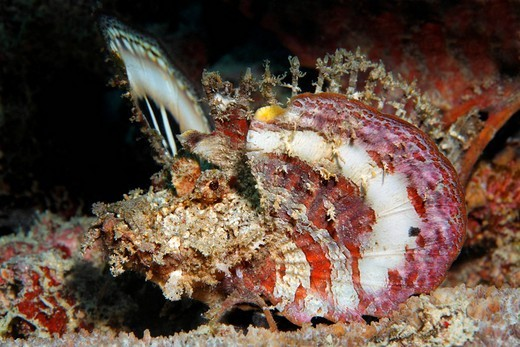 Stock Photo: 1848-167928 Bearded Ghoul Inimicus didactylus, spreading its pectoral fins as a warning, Selayar Island, West coast, South Sulawesi, Indonesia, Java Sea, Indian Ocean