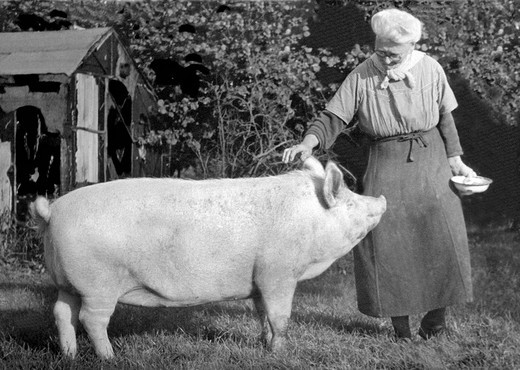 Historic photograph, woman stroking a large pig : Stock Photo