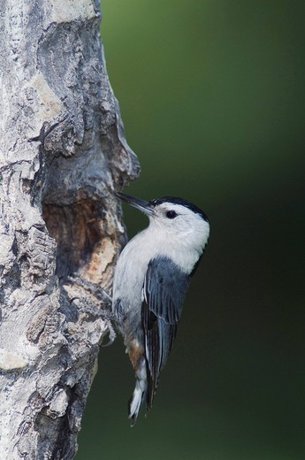 White_breasted Nuthatch Sitta carolinensis, male at nesting cavity in aspen tree, Rocky Mountain National Park, Colorado, USA : Stock Photo