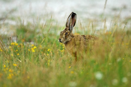 Brown Hare Lepus europaeus : Stock Photo