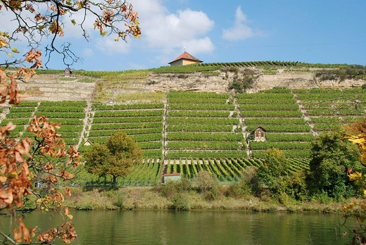 Vineyards at the Neckar Stuttgart Muenster Baden Wuerttemberg Germany : Stock Photo