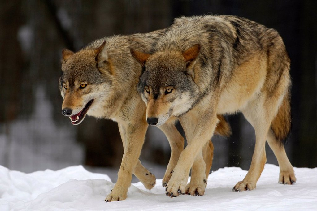 Stock Photo: 1848-170835 Wolves canis lupus occidentalis in winter