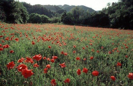 Stock Photo: 1848-173245 Poppy flower field, Marche, Italy