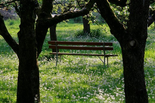 Bench under blossoming apple trees Malus domestica on a mixed orchard along with Cuckoo Flowers or Lady´s Smock Cardamine pratensis, Upper Bavaria, Bavaria, Germany, Europe : Stock Photo