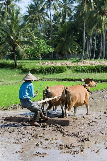Rice farmer working rice field, rice paddy with two oxen and a wooden plough, Lombok Island, Lesser Sunda Islands, Indonesia : Stock Photo