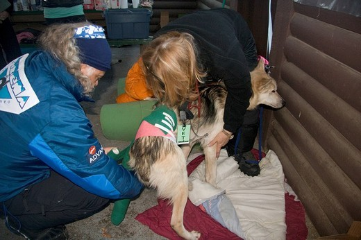 Stock Photo: 1848-173643 Vets treating hip injury of a Yukon Quest racing dog, sled dog, Dawson City, Yukon Territory, Canada, North America