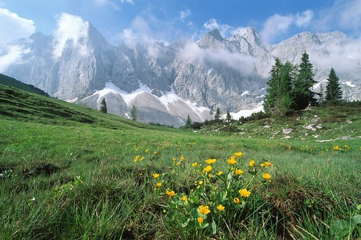 Marsh Marigolds Caltha palustris in springtime, Karwendel Range, North Tirol, Austria, Europe : Stock Photo
