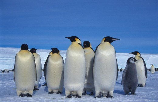 Emperor Penguin colony Aptenodytes forsteri : Stock Photo