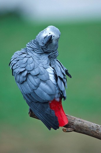 African Grey Parrot Psittacus erithacus : Stock Photo