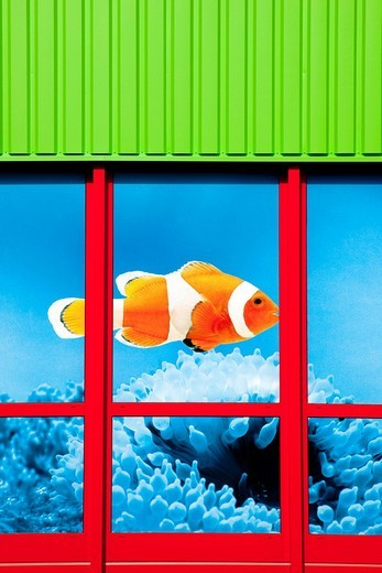Clown fish in the window of a store of the Fressnapf Tiernahrung GmbH company Neutraubling GmbH, Bavaria, Germany, Europe : Stock Photo