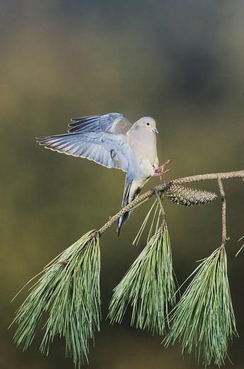 Mourning Dove Zenaida macroura, adult landing, Raleigh, Wake County, North Carolina, USA : Stock Photo