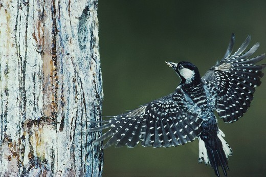 Red_cockaded Woodpecker Picoides borealis, adult landing at nesting cavity in pine tree, Wake County, North Carolina, USA : Stock Photo
