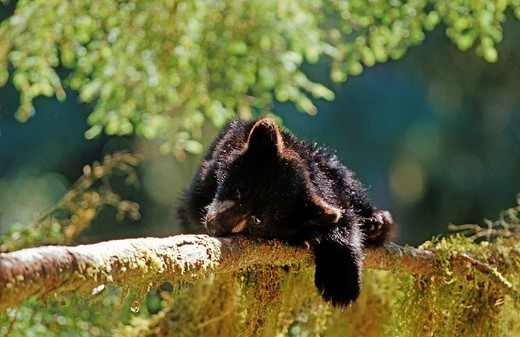 Young black bear, cinnamon bear Ursus americanus , South East Alaska : Stock Photo