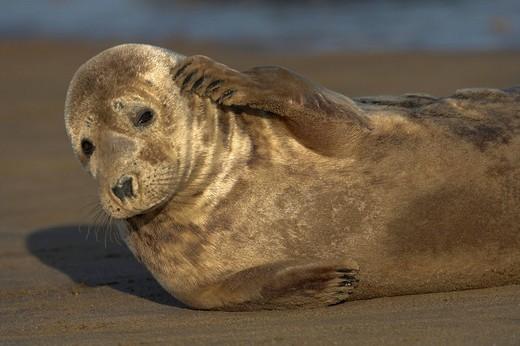Stock Photo: 1848-180831 Grey Seal Halichoerus grypus
