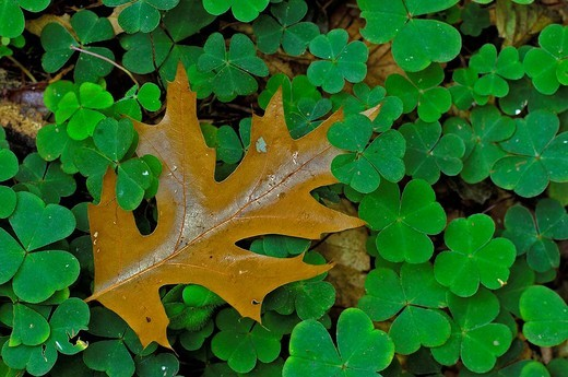 Oxalis acetosella and leave on an oak : Stock Photo