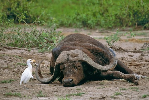 Sleeping Buffalo Syncerus caffer Cattle Egret Amboseli Kenya Africa : Stock Photo