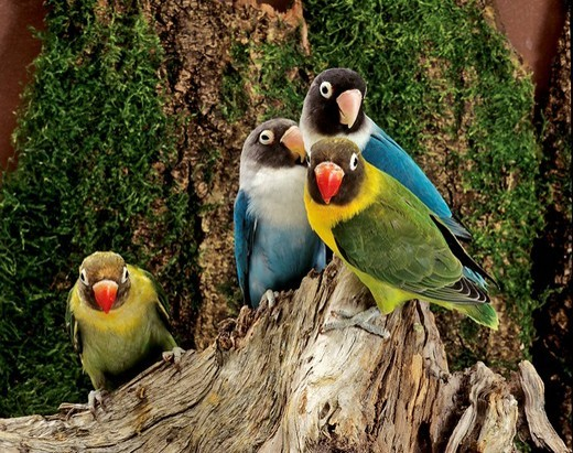 Lovebirds Agapornis, different breeds : Stock Photo