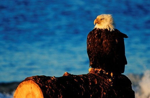 Bald Eagle Haliaeetus leucocephalus sitting on a log, Alaska : Stock Photo