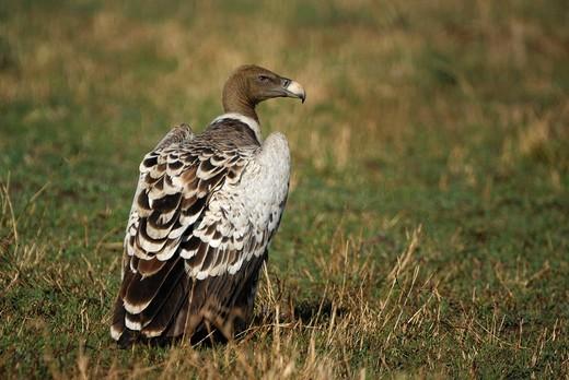 Rueppell´s Vulture Gyps rueppellii, Masai Mara, Kenya, Africa : Stock Photo