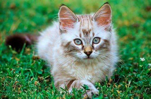 Kitten in a garden Felis silvestris : Stock Photo