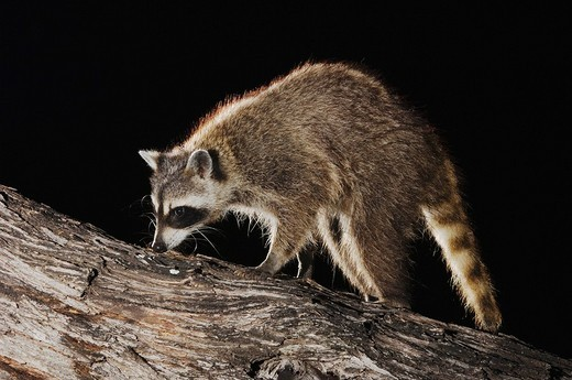 Stock Photo: 1848-184040 Northern Raccoon Procyon lotor, adult at night walking on tree, Willacy County, Rio Grande Valley, South Texas, USA