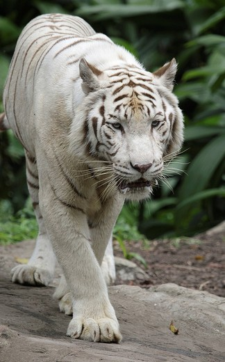 Stock Photo: 1848-18562 White Bengal Tiger Panthera tigris tigris, Singapore Zoo, Singapore, Asia