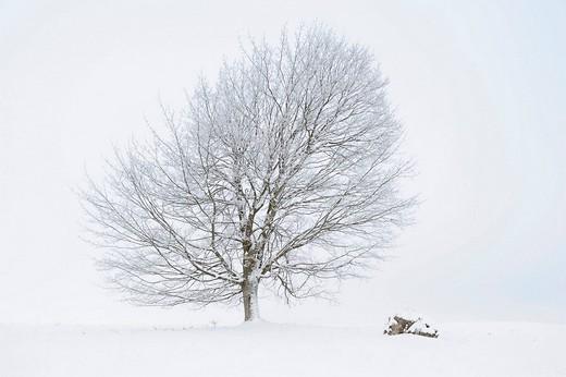 Field Maple Acer campestre, winter landscape, Swabian Alb, Baden_Wuerttemberg, Germany, Europe : Stock Photo