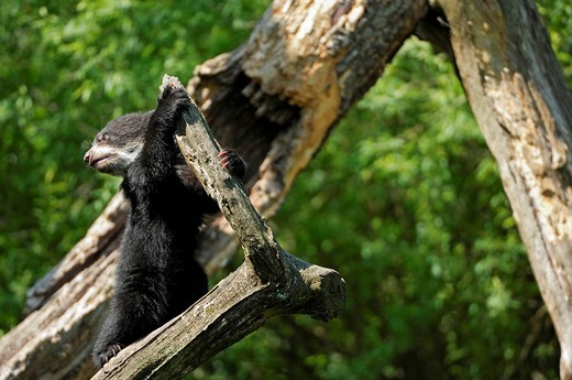Young Spectacled Bear Tremarctos ornatus climbing, Zoo Zurich, Switzerland : Stock Photo