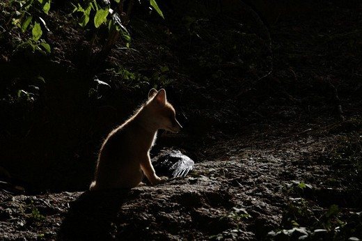 Red Fox Vulpes vulpes pup sitting in front of its den by moonlight, crow kill beside it : Stock Photo