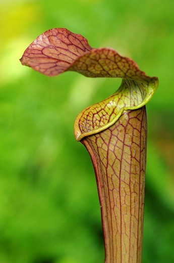 Stock Photo: 1848-187944 Cobra Lily Darlingtonia californica, California pitcherplant, carnivorous plant
