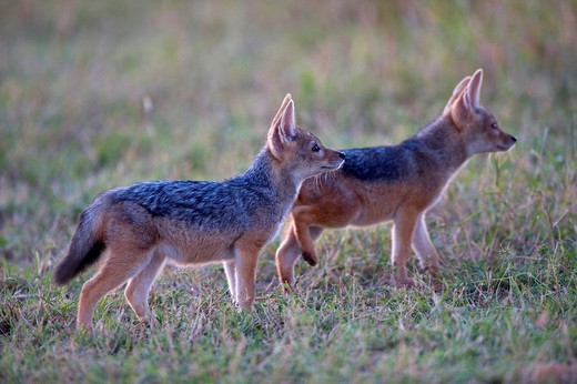 Stock Photo: 1848-188290 Black_backed Jackal Canis mesomelas, two young in first daylight, Masai Mara National Reserve, Kenya, East Africa