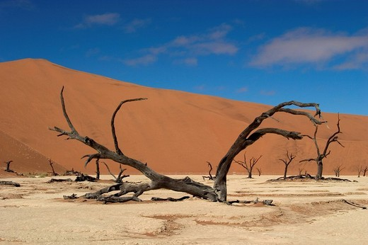 Dead, dried_up Acacia trees, Deadvlei, Namibia, Africa : Stock Photo