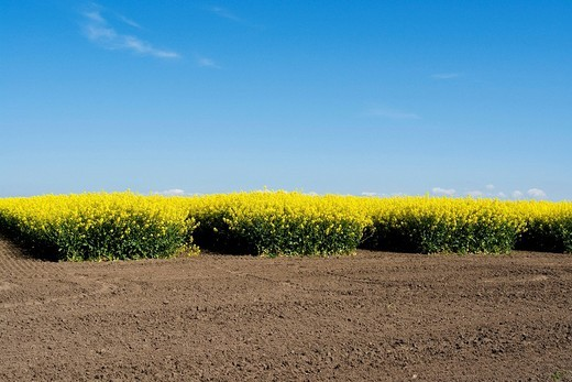 Experimental field with Rape Brassica napus, Nordwestmecklenburg, Mecklenburg_Western Pomerania, Germany, Europe : Stock Photo