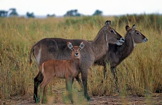 Common waterbuck Kobus ellipsiprymnus, Amboseli, Kenya, Africa : Stock Photo