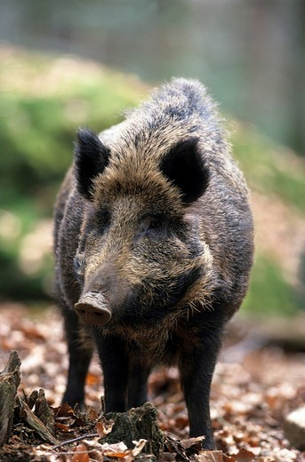 Wild Sow Sus scrofa in forest : Stock Photo