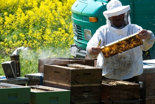 Beekeeper controlling and separating a colony of bees in front of a field of rape : Stock Photo