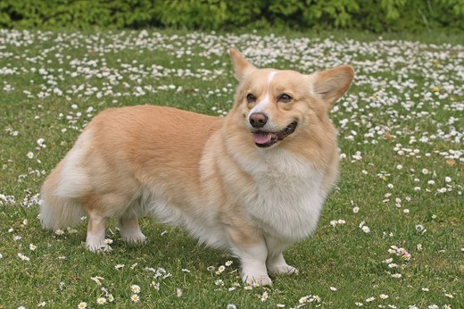 Stock Photo: 1848-194369 Pembroke Welsh Corgi standing on a meadow, sideways