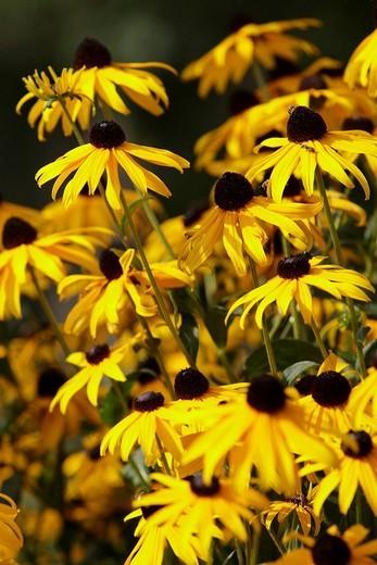 Rawer sunhat, Rudbeckia hirta, Asteraceae : Stock Photo