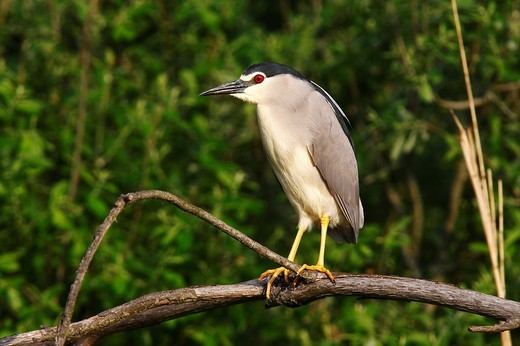 Night Heron Nycticorax nycticorax perched on a branch, Retszilas fishponds, Hungary, Europe : Stock Photo