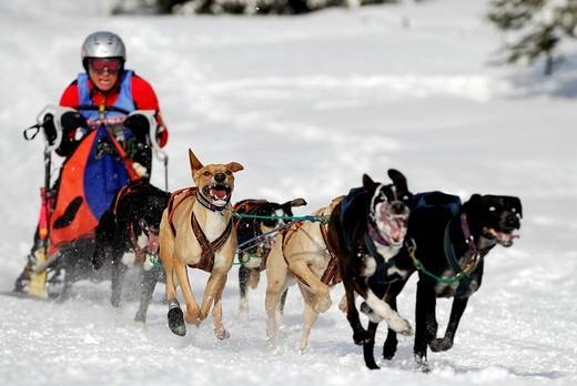 Stock Photo: 1848-197322 Dog sled race, Unterjoch, Bavaria, Germany, Europe