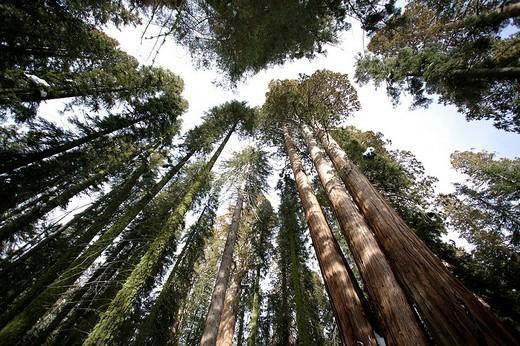 Giant Sequoias Sequoiadendron giganteum in wintertime, Sequoia National Park, California, USA, North America : Stock Photo