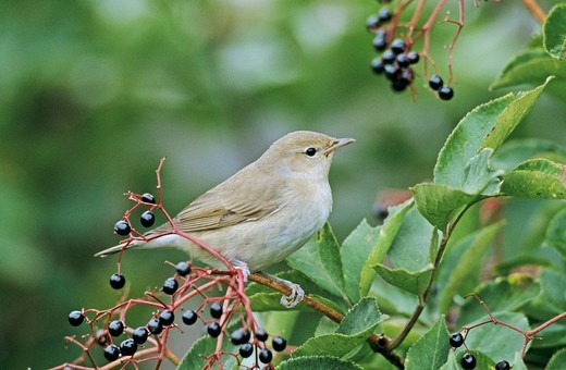 Garden Warbler Sylvia borin, adult eating on Common Elderberry Sambucus nigra, Oberaegeri, Zug, Switzerland : Stock Photo