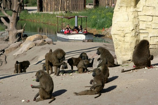 Stock Photo: 1848-199317 Baboons Papio at ZOOM Erlebniswelt Zoo in Gelsenkirchen, North Rhine_Westphalia, Germany, Europe