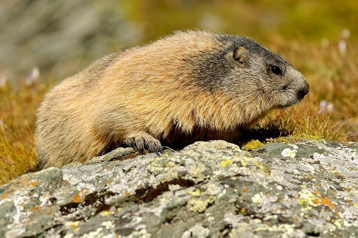 Alpine marmot Marmota marmota : Stock Photo