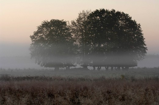 Trees in the mist, High Fens Hautes Fagnes, Hohes Venn moorland region, Belgium/Germany : Stock Photo